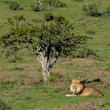 Постер, плакат: A Kalahari lion Panthera leo in the Addo Elephant National Par