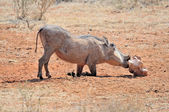 Warthog licking salt block — Stock Photo