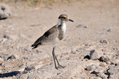 Juvenile Blacksmith Lapwing — Stock Photo