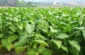 Tobacco farm — Stock Photo