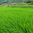 Rice paddy — Stock Photo #25329413