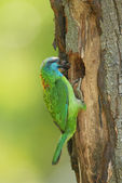 Muller's barbet — Stock Photo