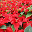 Poinsettia — Stock Photo #27849819