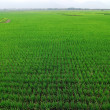 Rice paddy — Stock Photo #32169917