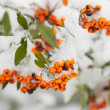 Rowanberry  — Stock Photo