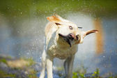 Dog shaking — Stock Photo