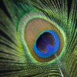 Peacock feather — Stock Photo #23700845