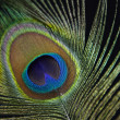 Peacock feather — Stock Photo #23700859