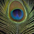 Peacock feather — Stock Photo #23700921