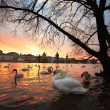 Swans in the city — Stock Photo