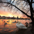 Swans in the city — Stock Photo #24324957