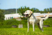 Dog on meadow — Stock Photo