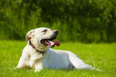 Perro de la pradera — Foto de Stock