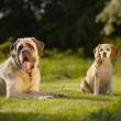 Mastiff with beagle — Stok fotoğraf