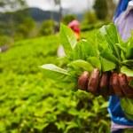 Tea plantation — Stock Photo #34122779