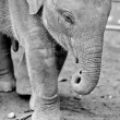 Baby of elephant — Stock Photo