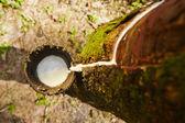 árbol del caucho — Foto de Stock