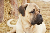 Dog in the farm — Stock Photo