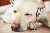 Dog is listening music — Stock Photo