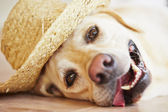 Dog with straw hat — Stock Photo