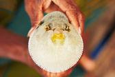 Puffer fish — Stock Photo