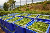 Foglie di tè in scatole — Foto Stock