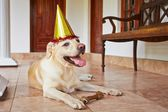 Dog birthday party — Stock Photo