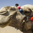 Stock Photo: Decorated Camel face in Egypt