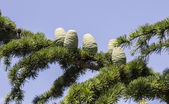 Pine cones branch — Stock Photo