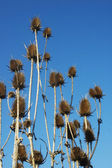 Thistles in a field with blue sky — Stock Photo