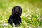 Black english springer spaniel playing in clover field — Stock Photo