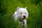 Cure white westland terrier dog in grass field — Stock Photo
