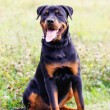Rottweiler — Stock Photo #38670339