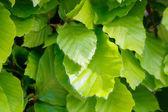 Fresh beech leaves — Stock Photo