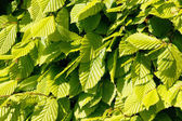 Close-up of beech leaves — Stock Photo