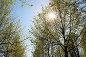 Sun in the tree tops — Stock Photo