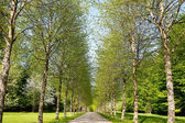 Birch Tree Alley — Stockfoto
