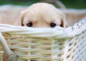 Curious golden retriever puppy — Stock Photo