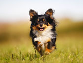 Running chihuahua — Stock Photo