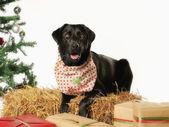 Black labrador with scarf — Foto de Stock