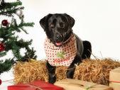 Black labrador in christmas setting — Stock Photo