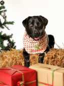 Christmas labrador dog — Stock Photo