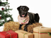 Purebred labrador — Foto de Stock