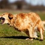 Golden retriever catching a stick — Stock Photo #43280979