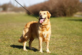 Purebred dog in a leash — Stock Photo