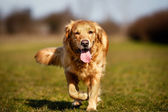 Purebred dog running towards camera — Stock Photo