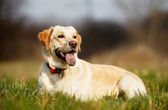 Pedigree dog on grass — Stock Photo