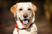 Face of pedigree dog — Stock Photo
