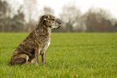 İtalyan mastiff — Stok fotoğraf