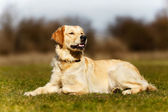 Young dog lying down — Stock Photo